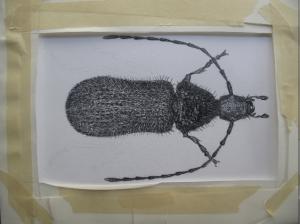 hitleri Beetle