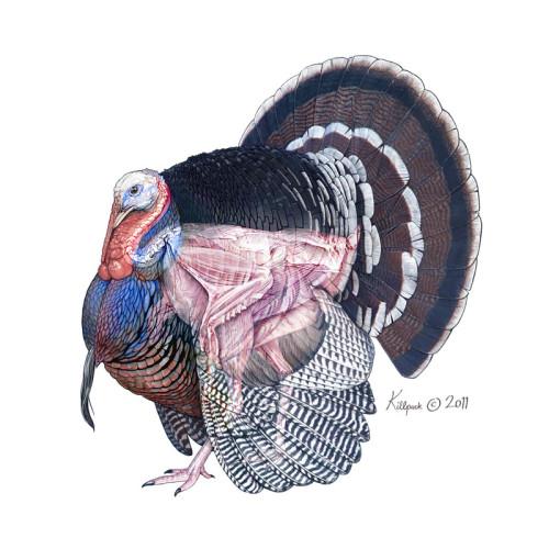 Wild turkey anatomy diagram 567170 - follow4more.info