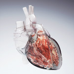 Hybrid Medical Animation, medical illustration, medical illustrator, cardiology, heart, medical art, illustration, healthcare