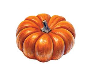 illustration, botany, pumpkin, jillian walters, botanical illustration, scientific illustration, natural science, plant