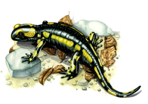 lizzie harper, reptile, salamander, fire salamander, illustration, scientific illustration, natural science