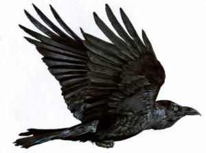 lucy conklin, corvus corax, crow, bird, illustration, zoology, natural science, scientific illustration