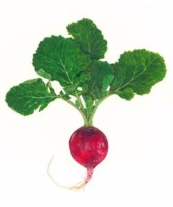 botanical illustration, scientific illustration, natural science, plant, radish, vegetable, lucy conklin, veggie