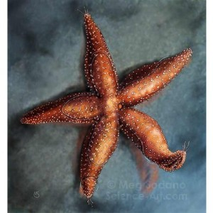 meg sodano, tidepool, zoology, sea star, starfish, illustration, scientific illustration, medical illustration sourcebook
