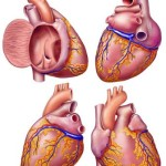 Robert Finkbeiner, medical illustration, medical illustrator, cardiology, heart, medical art, illustration, healthcare