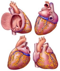 Robert Finkbeiner, medical illustration, medical illustrator, cardiology, heart, medical art, illustration, healthcare