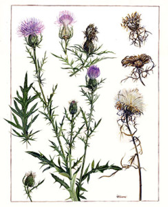 Sandra Williams, thistle, botany, botanical illustration, natural science, plants, plantlife, plant illustration, scientific illustration, flower, flowering plant