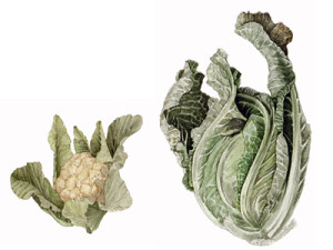 botanical illustration, scientific illustration, natural science, plant, veggie, vegetable, cabbage, cauliflower