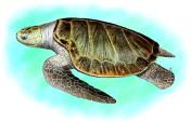 Fusarium solani, not fun for Sea Turtles