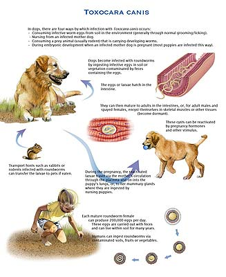Life Cycle of the canine roundworm, Toxocara canis