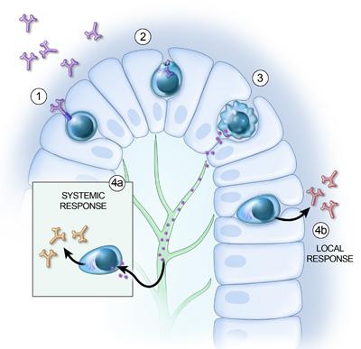 Dog gut immune response - Purina