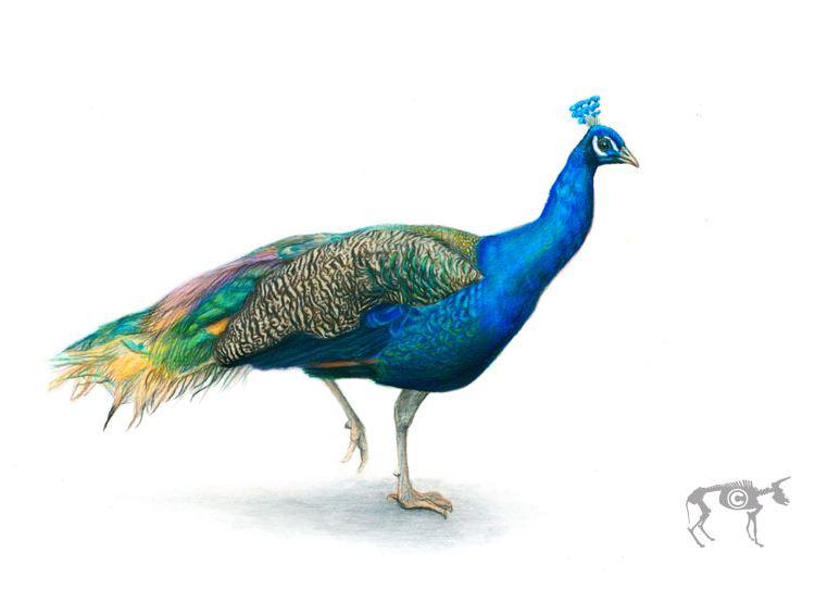Oxhip Peacock