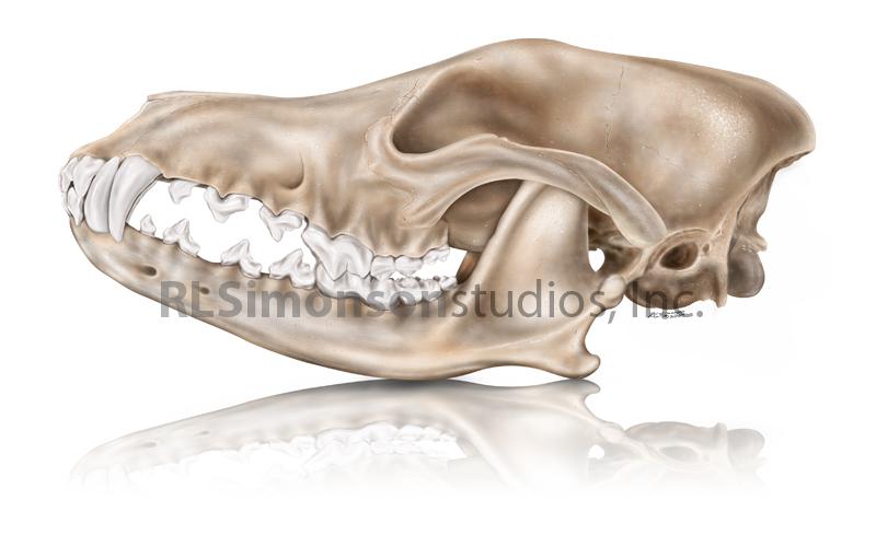 RL Simonson - Coyote Skull