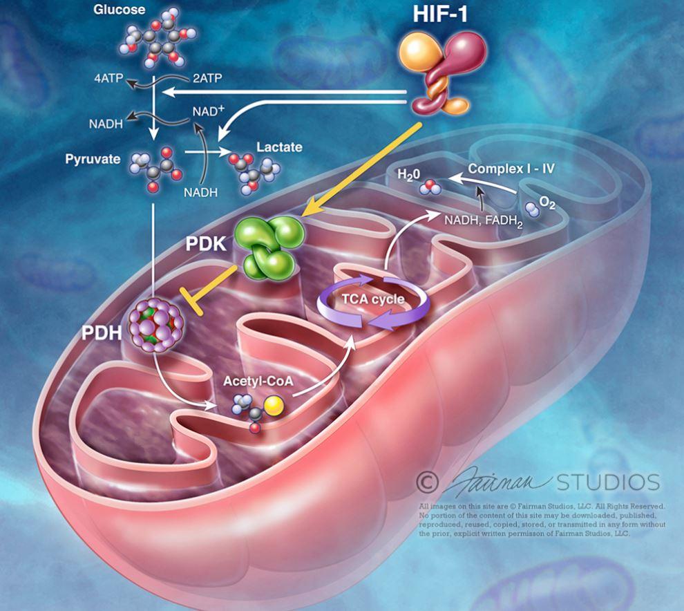 Fairman STudios Info Mitochondria