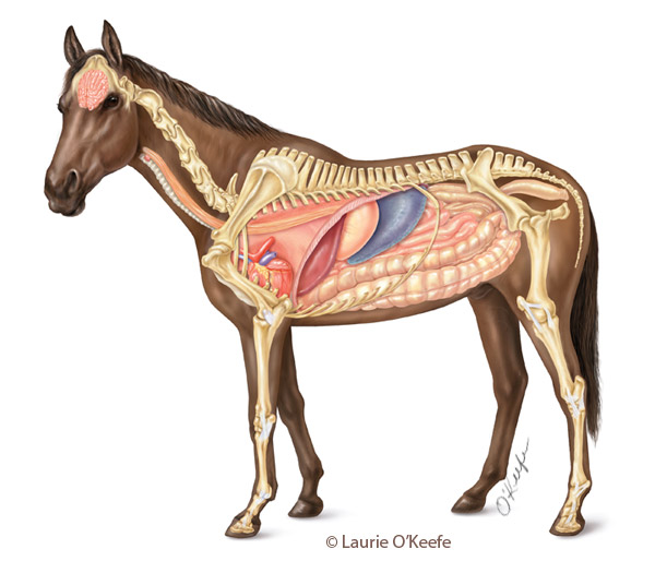 Horse-anatomy