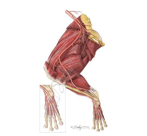 Mouse Hindlimb Muscle Anatomy