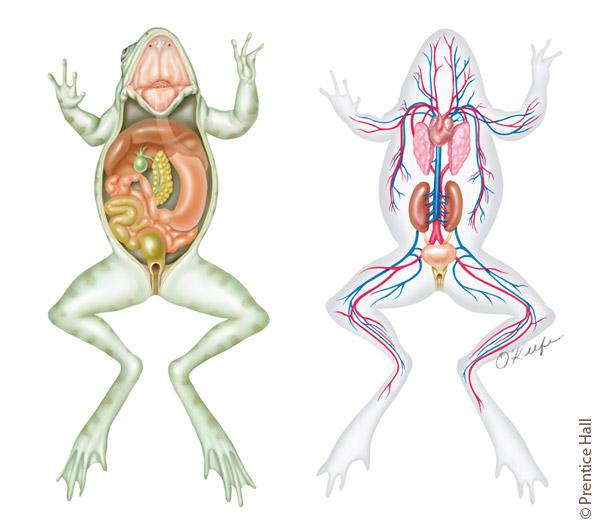 frog-anatomy