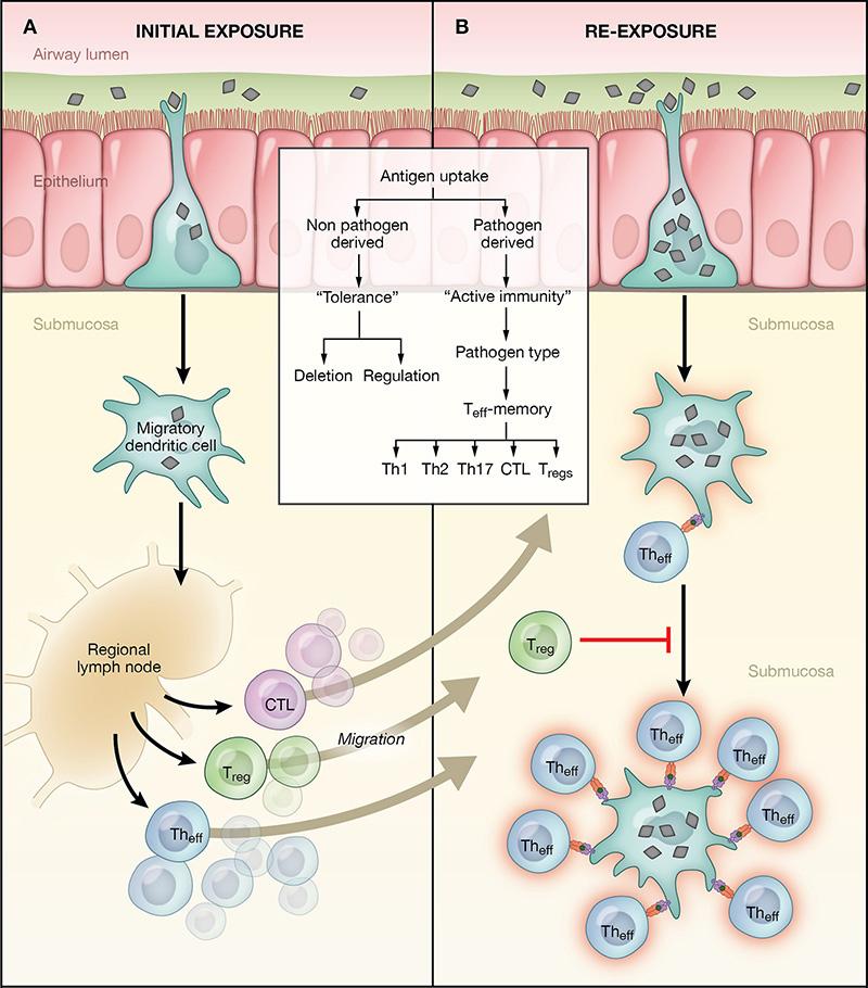 Asthma pathophysiology3
