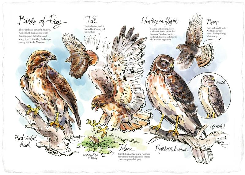 Naturalist-Notebooks-Hawk_850