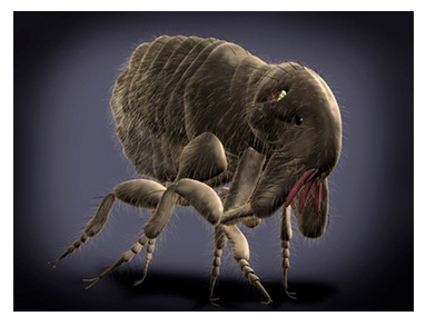 Various flea species infect mammals and birds. Fleas suck the blood of their hosts often making them a vector in disease transmission. Fleas are insects of the order Siphonaptera and comprise several genera