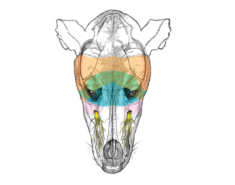 Canine Head and the trigeminal nerve