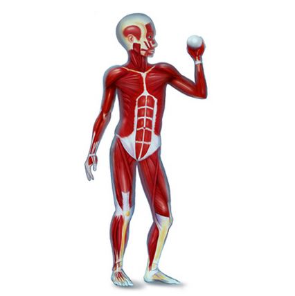 Muscular SYstem of a Child