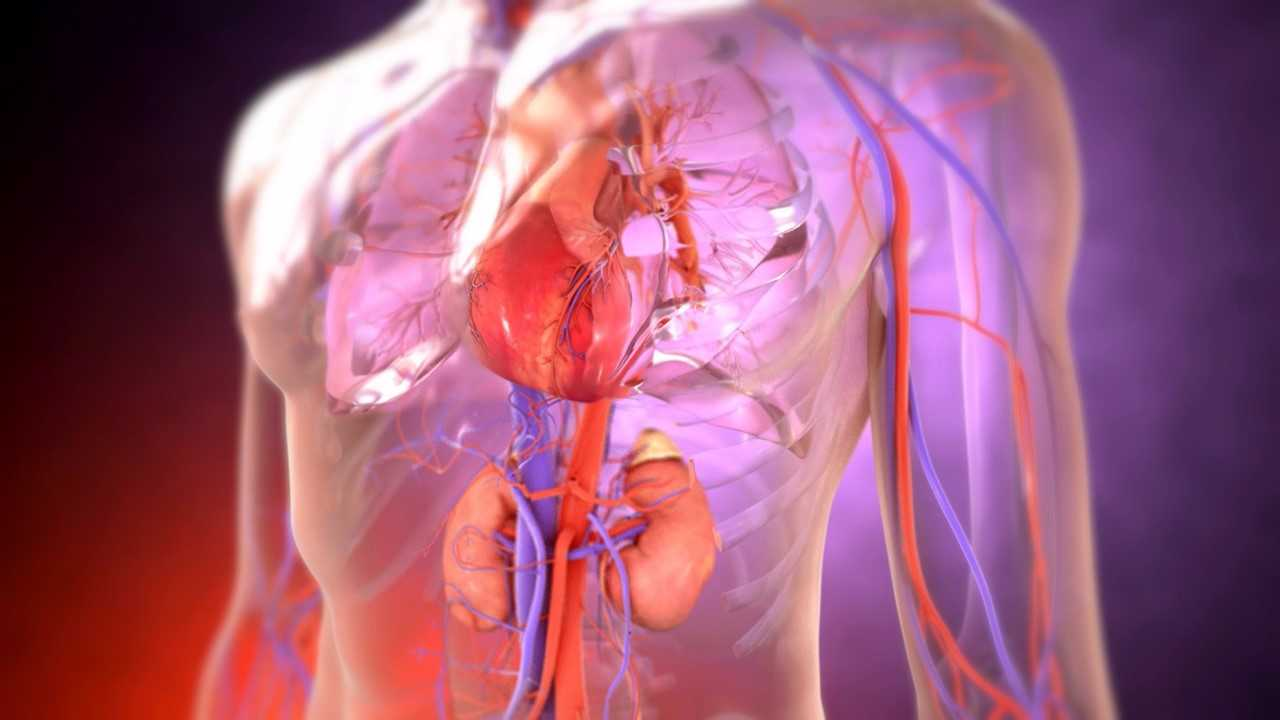 circulatory system of a human male