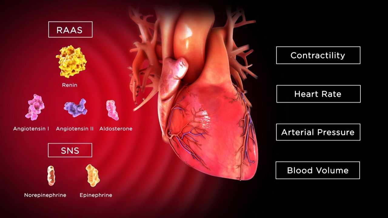 RAAS SNS Contractillty Heart Rate Arterial Pressure Blood Volume