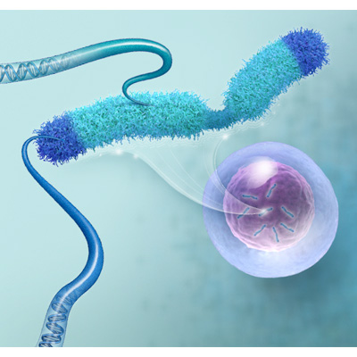 Chromosomes: DNA Replication/Telomere Lengthening