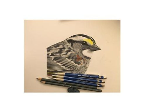 White-throated SparrowThreatened by Climate Change.Graphite and…