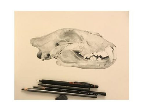 Study – Lion SkullGraphite and pencil on paper.Natural…