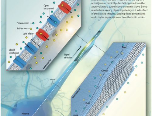 Falconieri Visuals for Scientific American: Mechanism of Nerve Signaling