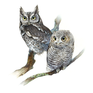 Justine Lee HartenEastern Screech Owl adult and fledgling Illustration