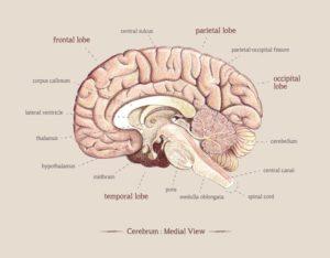 Emma Cheng - Brain, medial view illustration