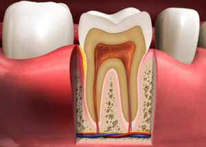 Articulate Graphics LLC Dental Anatomy Illustration