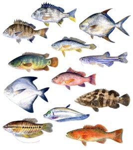 Hendrik Gheerardyn Asian fish species illustration
