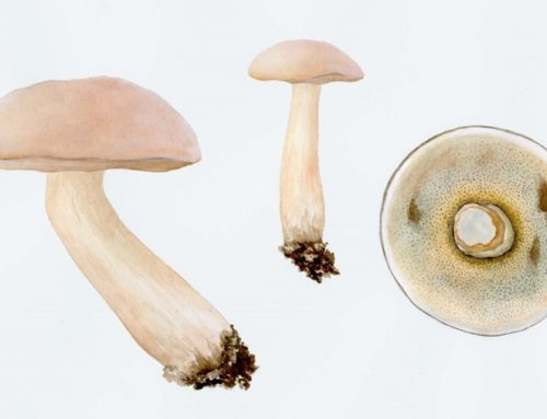 Mycological Illustrations by Artist Joan Thomson