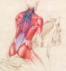John Karapelou Biomedical Art horsebackriding muscles illuastration