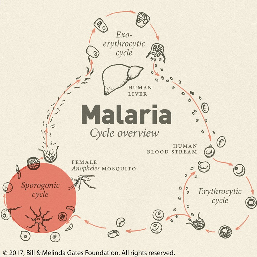 Malaria Life Cycle Overview Cognition Studio Inc,