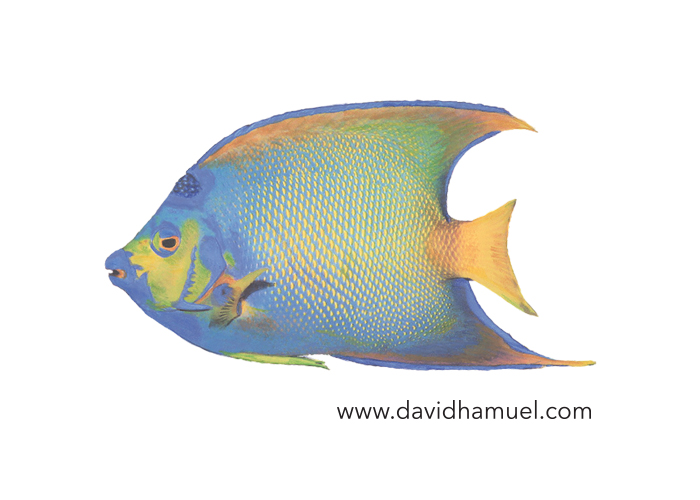 Queen Angelfish (Holacantbus Ciliaris)