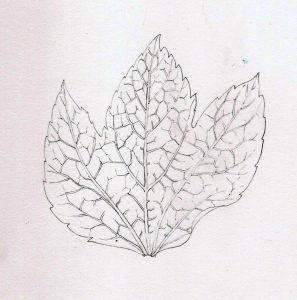 pencil leaf graphite line botanical illustration