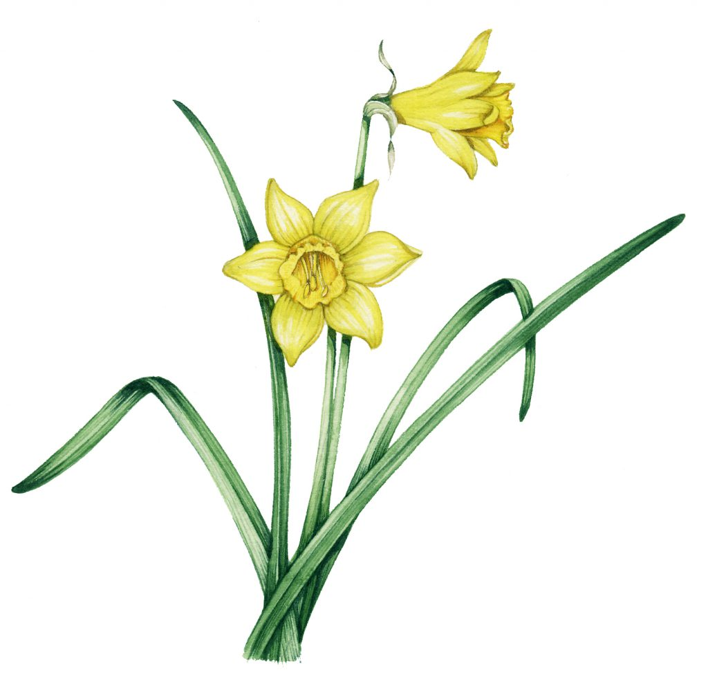 Wild daffodil Narcissus pseudonarcissus natural history illustration by Lizzie Harper
