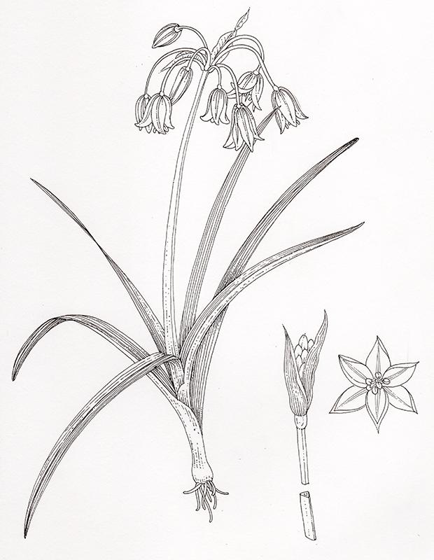 botanical illustration of 3 cornered leek