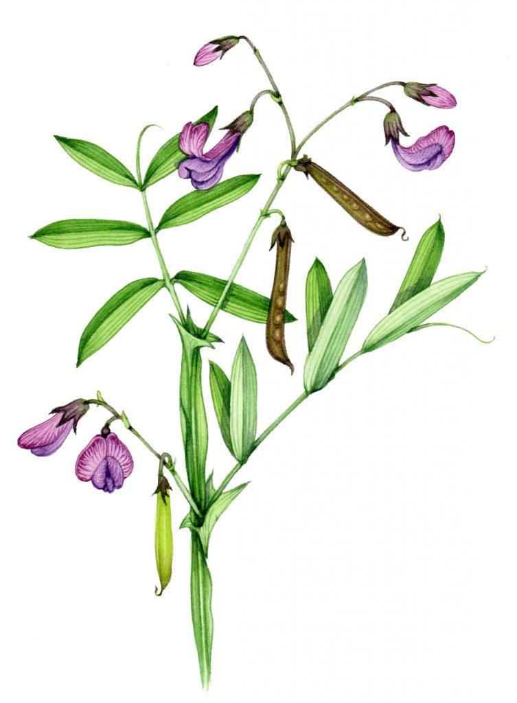 Bitter vetch Lathyrus linifolius natural history illustration by Lizzie Harper