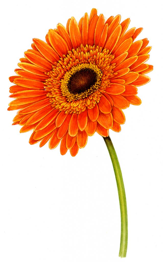 African daisy Gerbera natural history illustration by Lizzie Harper