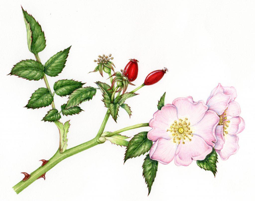 Dog Rose Rosa canina natural history illustration by Lizzie Harper