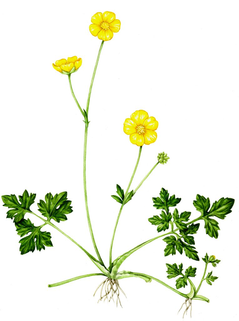 Creeping buttercup Ranunculus repens natural history illustration by Lizzie Harper