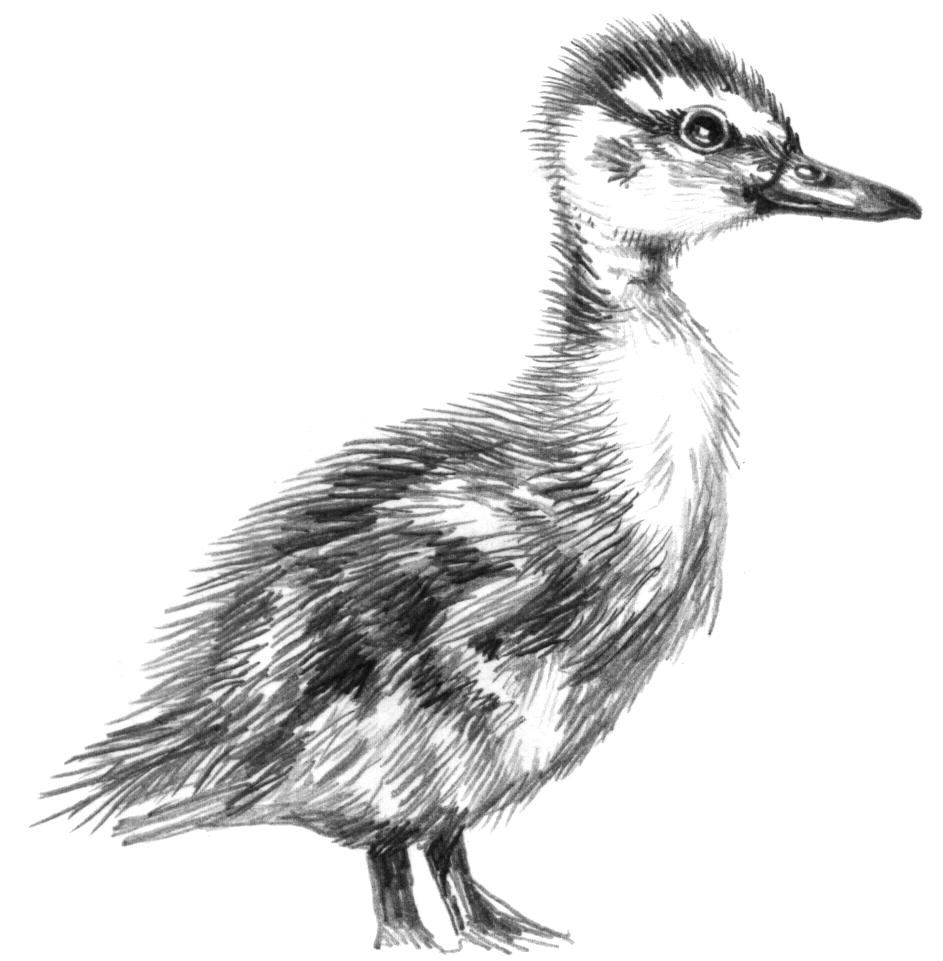 Mallard duck Anas platyrhynchos natural history illustration by Lizzie Harper