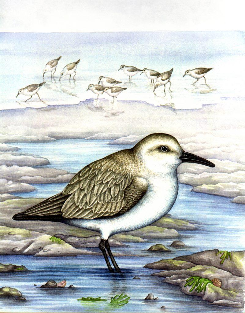 Sanderling Calidris alba natural history illustration by Lizzie Harper