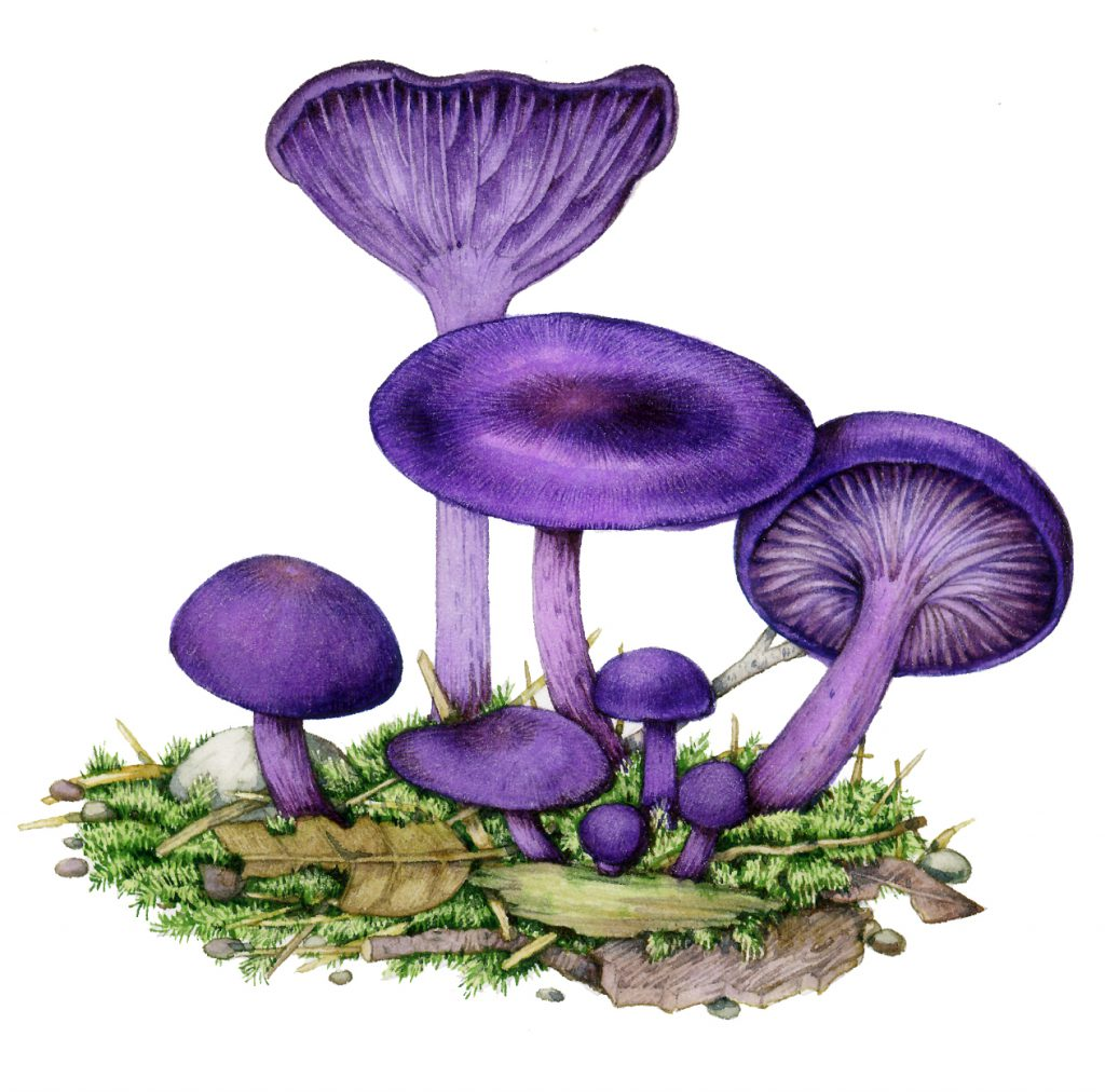 Amethyst deceiver Laccaria amethystina fungus natural history illustration by Lizzie Harper